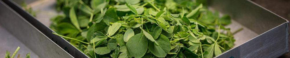 Preparation of green biomass from clover